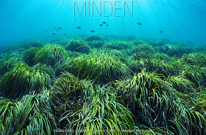 Neptune seagrass (Posidonia oceanica) bed with Fish shoaling above. A patch of this seagrass bed is considered to be the oldest living organism on earth. Spain. June.