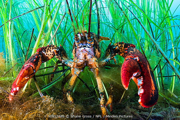 American lobster (Homarus americanus) sheltering in Eelgrass (Zostera marina) bed. Newfoundland, Canada. September.