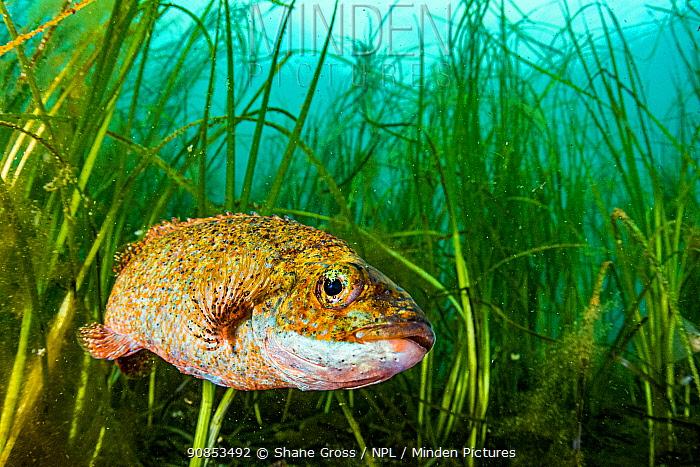 Cunner (Tautogolabrus adspersus) fish in Eelgrass (Zostera marina) bed. Newfoundland, Canada.