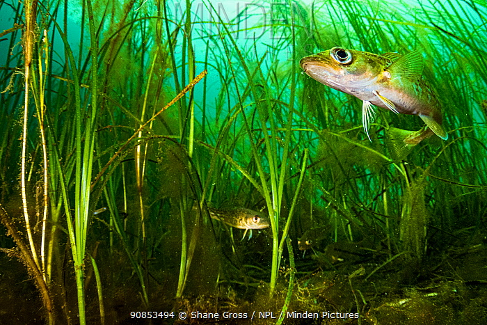 Atlantic cod (Gadus morhua) juveniles hiding in Eelgrass (Zostera marina) bed. Once the most caught fish in the world, the cod fishery collapsed in 1992. Juveniles use seagrass beds as a nursery, the healthier the seagrass bed, the better the fisheries are likely to be. Newfoundland, Canada. September.