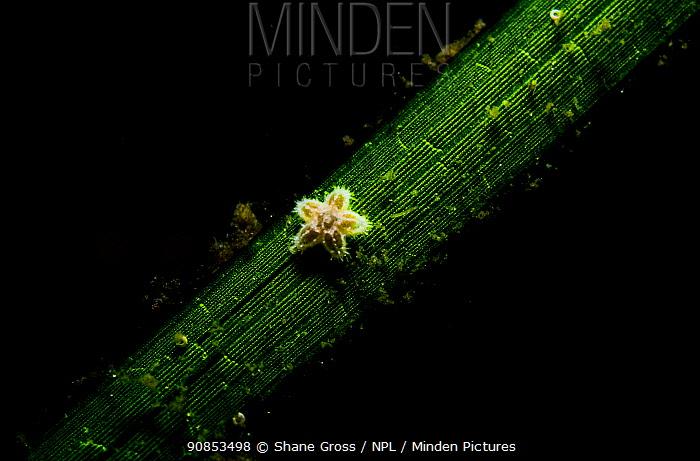 Common sea star (Asterias rubens) juvenile on Eelgrass (Zostera marina) blade. Newfoundland, Canada. September.