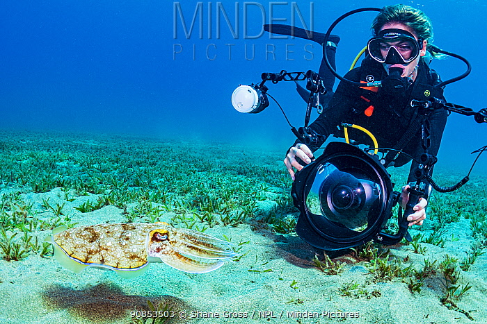 Diver photographing Hooded cuttlefish (Sepia prashadi) in seagrass bed. Marsa Alam, Egypt. 2019.