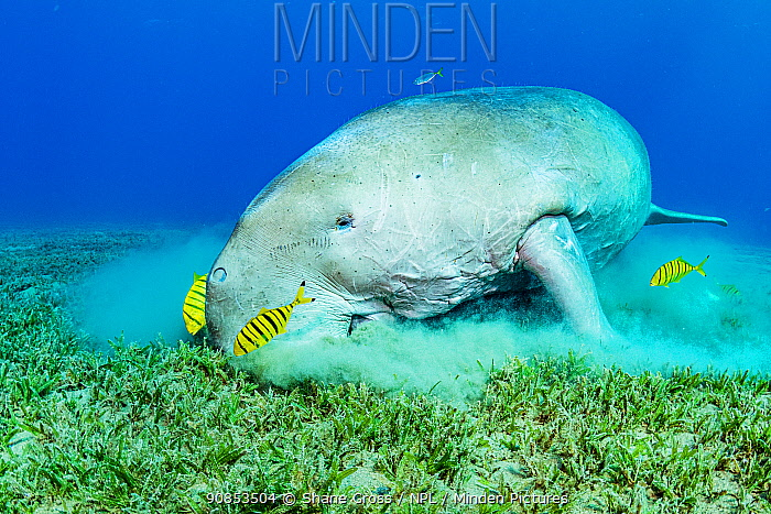 Dugong (Dugong dugon) male feeding on Turtlegrass (Halophila stipulacea) alongside juvenile Golden trevally (Gnathanodon speciosus) shoal, in seagrass bed. Marsa Alam, Egypt.