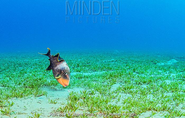 Yellowmargin triggerfish (Pseudobalistes flavimarginatus) feeding in Tapegrass (Halophila stipulacea) seagrass bed. Marsa Alam, Egypt.