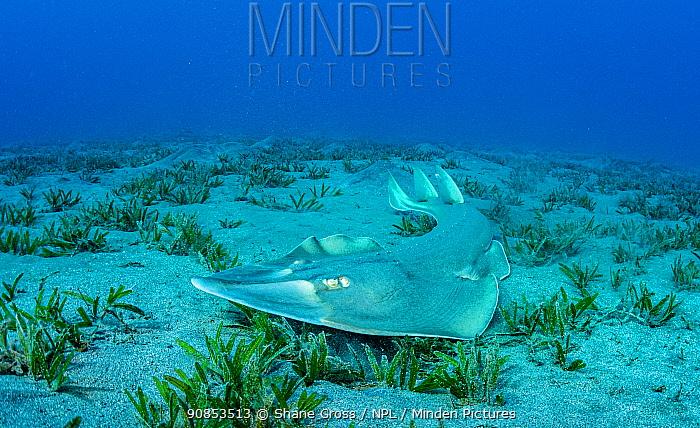 Common guitarfish (Rhinobatos rhinobatos) hunting in Tapegrass (Halophila stipulacea) seagrass bed. Marsa Alam, Egypt.