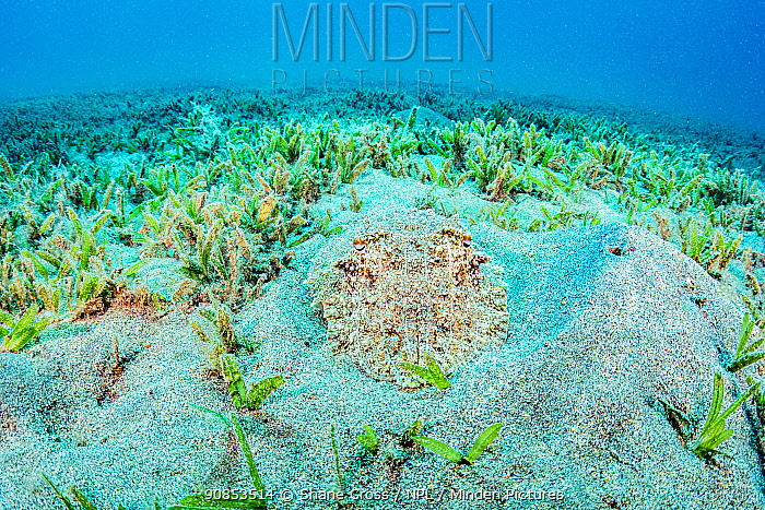 Hooded cuttlefish (Sepia prashadi), ambush predator camouflaged against sand in seagrass bed. Marsa Alam, Egypt.