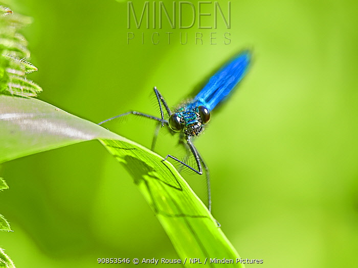 Beautiful Demoiselle damselfly, (Calopteryx virgo), male , Wales, UK