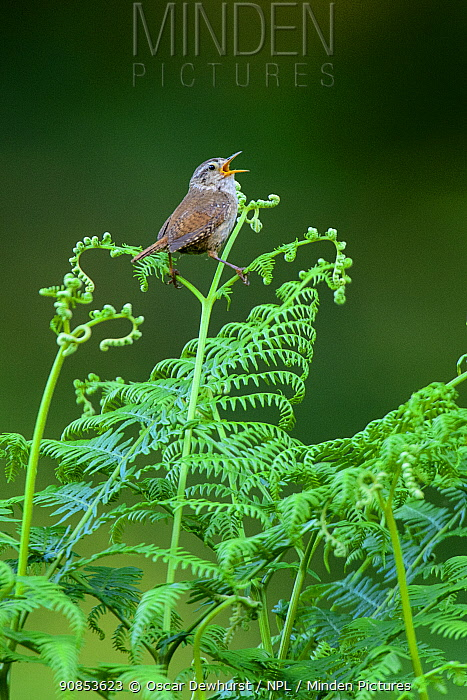 Wren (Troglodytes troglodytes) singing from bracken underneath a woodland canopy. London, UK. June