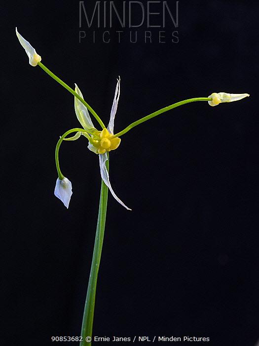 Few-flowered garlic (Allium paradoxum ) invasive plant, Norfolk, England, UK.
