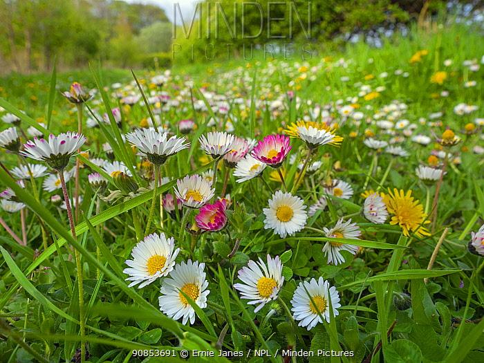 Garden daises (Bellis perennis) in meadow, England, UK, April.