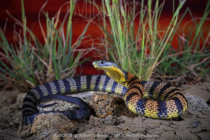 Eastern tiger snake (Notechis scutatus) sub adult female in defensive posture. Warburton, Yarra Valley of Victoria, Australia