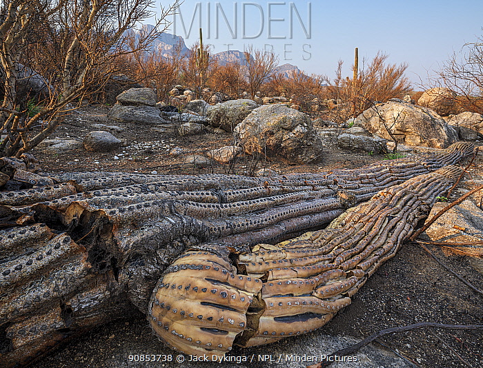 Saguaro (Carnegiea gigantea) cacti burnt and toppled by Big Horn Fire, a wildfire caused by a lightning strike on 5th June 2020 burnt for six weeks engulfing 120,000 acres of Sonoran Desert. Catalina State Park, Arizona, USA. August 2020.