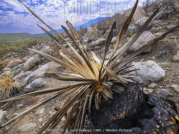 Sotol (Dasylirion sp) with base burnt by Big Horn Fire, a wildfire caused by a lightning strike on 5th June 2020. The fire burnt for six weeks engulfing 120,000 acres of Sonoran Desert. Catalina State Park, Arizona, USA. August 2020.