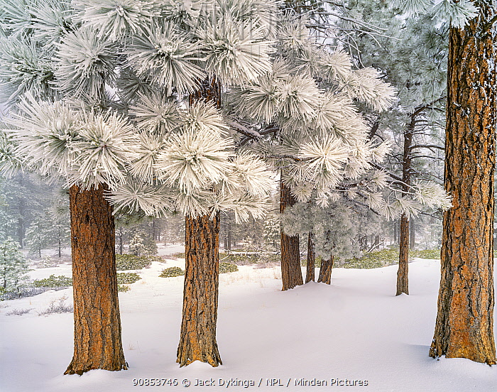 Ponderosa pine (Pinus ponderosa) forest, trees covered in hoar frost after winter storm. Bryce Canyon National Park, Utah, USA. February 1999.