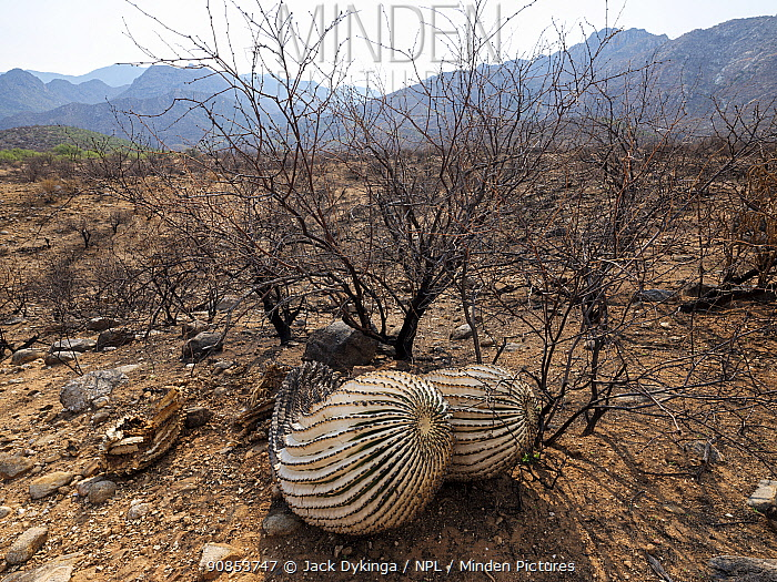 Barrel cactus (Ferocactus wislizeni) charred by Big Horn Fire, a wildfire caused by a lightning strike on 5th June 2020 which burnt for six weeks engulfing 120,000 acres of Sonoran Desert. Catalina State Park, Arizona, USA. August 2020.