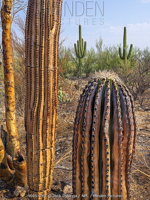 Saguaro (Carnegiea gigantea) charred by Big Horn Fire, a wildfire caused by a lightning strike on 5th June 2020 which burnt for six weeks engulfing 120,000 acres of Sonoran Desert. Catalina State Park, Arizona, USA. August 2020.