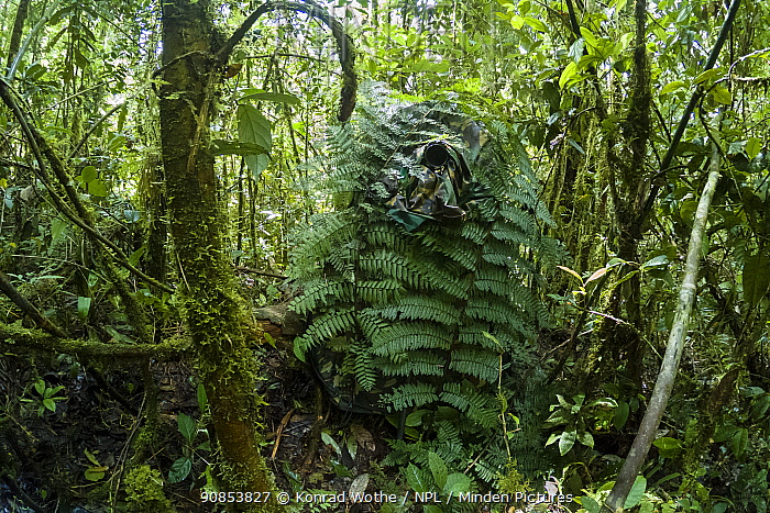 Photographer's temporary hide camouflaged with Ferns in rainforest. Western Highlands, Papua New Guinea. 2019.