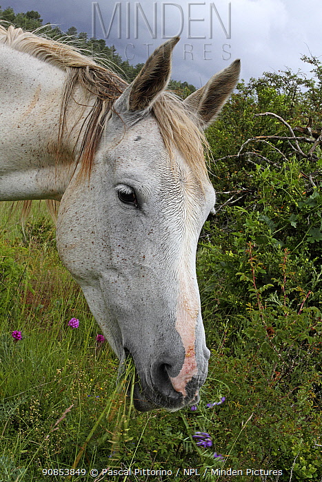 Portrait of French saddle horse, grey mare, feeding in meadow, Grands Causses Cevennes Regional Natural Park, Lozere, France, June