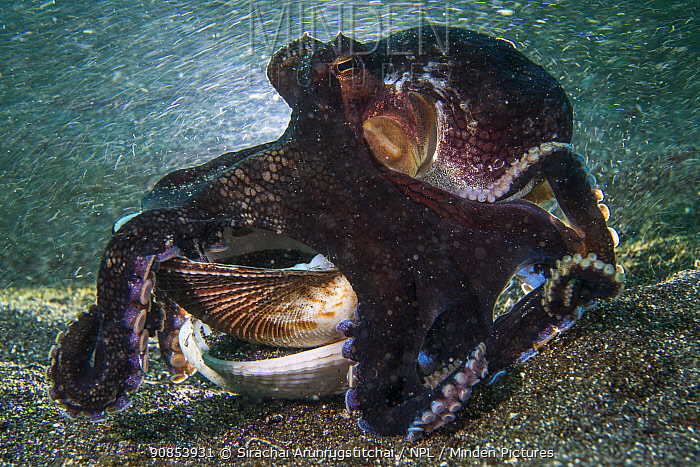 Coconut octopus (Amphioctopus marginatus) crawling along the seafloor, while carrying a shell of bivalve, which it uses as shelter, Lembeh Strait, North Sulawesi, Indonesia