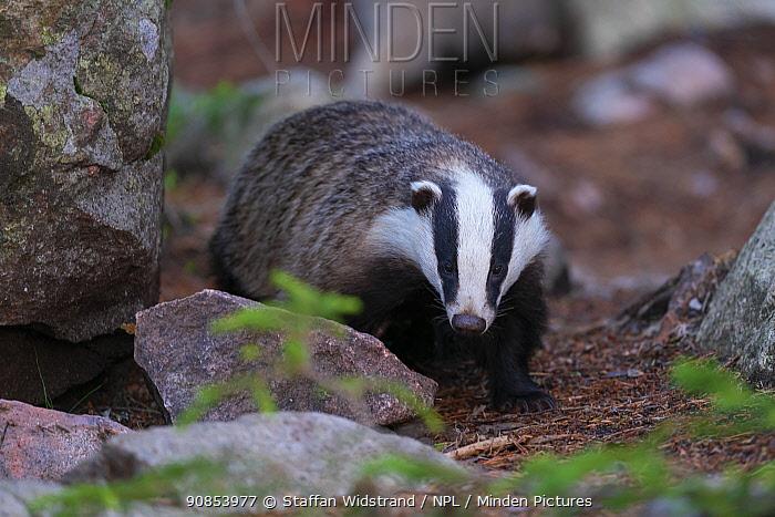 Eurasian badger (Meles meles) Jarbo, Sweden