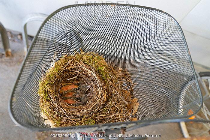 Blackbird chicks (Turdus merula) in their nest in a bicycle basket, Jarfalla, Sweden