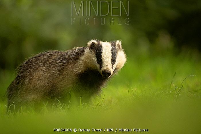 European badger (Meles meles) in woodland. Scotland, August.