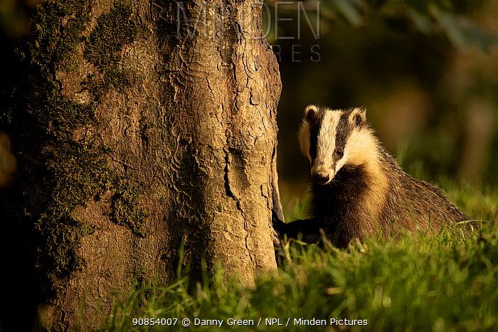 European badger (Meles meles) in woodland. Scotland, UK. August.