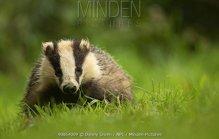 European badger (Meles meles) cub in grassland. Scotland, UK, August.