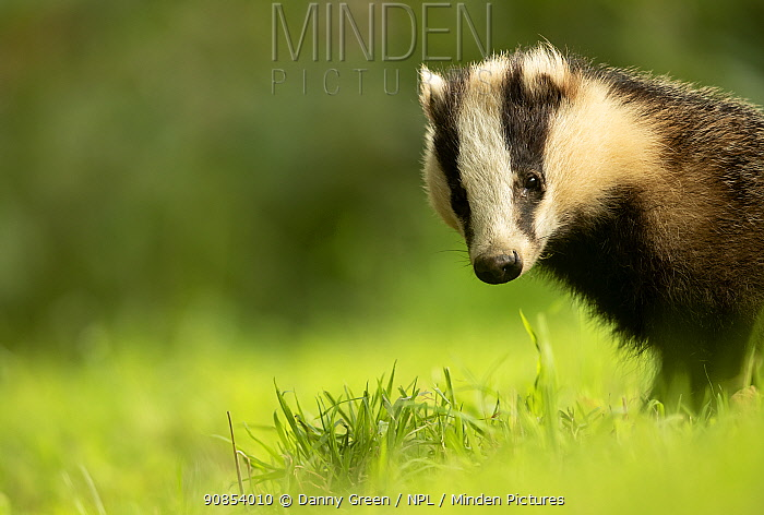 European badger (Meles meles) cub in grassland. Scotland, UK, August.