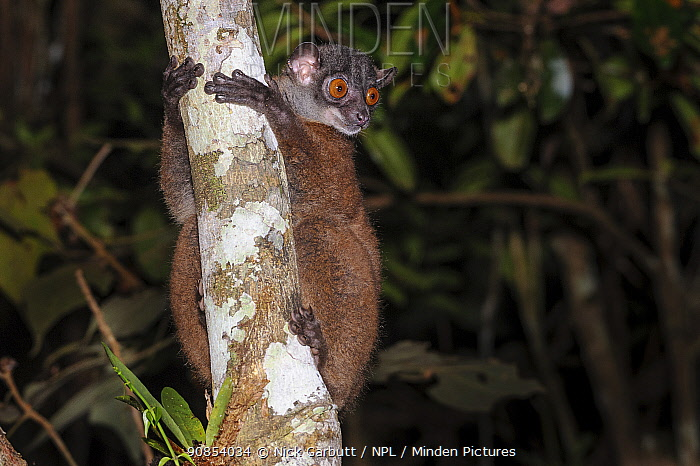 Masoala sportive lemur or Scott's sportive lemur (Lepilemur scottorum) active in forest understory at night (nocturnal species). Masoala Peninsula, north east Madagascar.