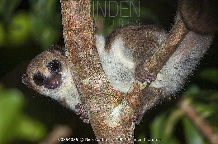 Greater dwarf lemur (Cheirogaleus major) in rainforest canopy at night. Masoala National Park, Madagascar.