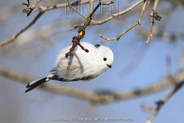 Long-tailed tit (Aegithalos caudatus) perched on branch. Hokkaido, Japan. February.