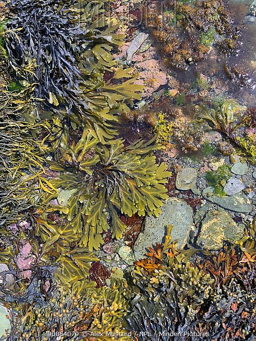 Seaweed including Bladder wrack (Fucus vesiculosus) egg wrack (Ascophyllum nodosum; serrated wrack (Fucus serratus) grows around the edge of a rockpool. Looe, Cornwall, England, United Kingdom. English Channel, North East Atlantic.