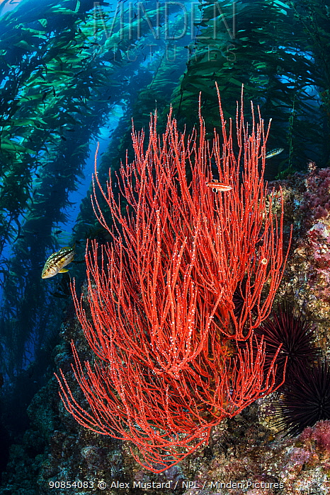 Red gorgonian (Lophogorgia chilensis) grows beneath a forest of Giant kelp (Macrocystis pyrifera), with kelp bass (Paralabrax clathratus). Santa Barbara Island, Channel Islands. Los Angeles, California, United States of America. North East Pacific Ocean.