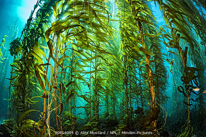 Giant kelp (Macrocystis pyrifera) forest. Santa Barbara Island, Channel Islands. Los Angeles, California, United States of America. North East Pacific Ocean.