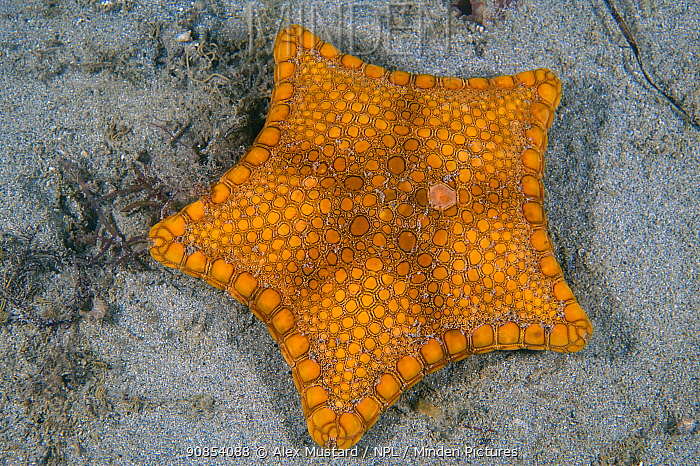 Biscuit seastar (Tosia australis) on a sandy seabed. Blairgowrie, Mornington Penisular, Victoria, Australia. Port Philip Bay, Bass Strait.