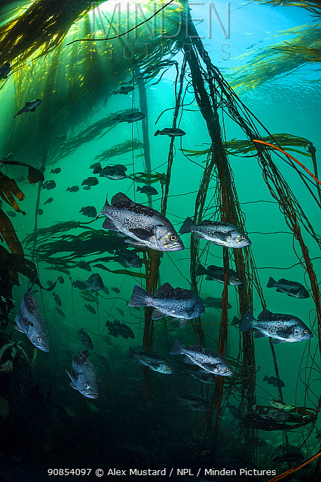 Black rockfish (Sebastes melanops) school shelter in a bull kelp forest (Nereocystis luetkeana). Race Rocks, Victoria, Vancouver Island, British Columbia, Canada. Queen Charlotte Strait, North East Pacific Ocean.