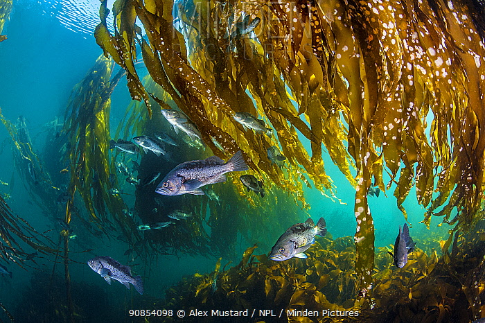 School of black rockfish (Sebastes melanops) shelter in a Bull kelp forest (Nereocystis luetkeana). Browning Pass, Port Hardy, Vancouver Island, British Columbia, Canada. Queen Charlotte Strait, North East Pacific Ocean.