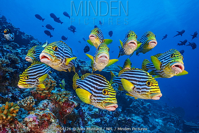 School of Oriental sweetlips (Plectorhinchus vittatus) gather tightly together as they rest during the day, with a Clown triggerfish (Balistoides conspicillum) and Midnight snappers (Macolor macularis) behind. Laamu Atoll, Maldives. Indian Ocean