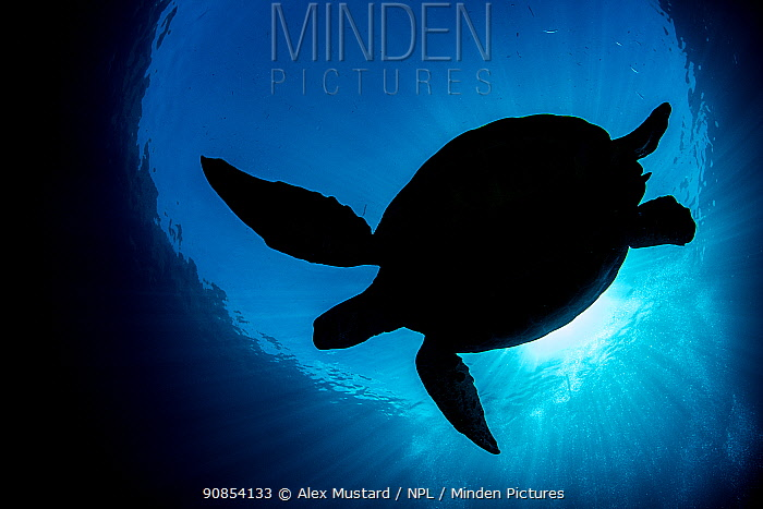 RF - Silhouette of a Green turtle (Chelonia mydas) against the surface of the sea. Saunderek jetty, Mansaur Island, Raja Ampat, West Papua. Tropical West Pacific Ocean. (This image may be licensed either as rights managed or royalty free.)