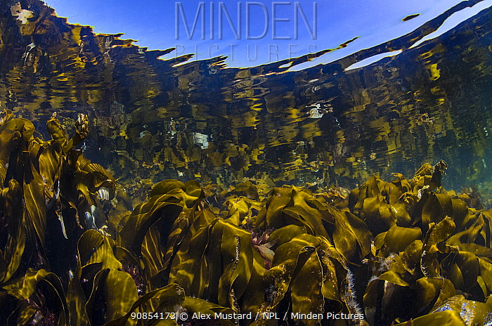 RF - Reflections of a kelp forest (Laminaria hyperborea) in shallow water. Farne Islands, Northumberland, England, United Kingdom. North Sea. (This image may be licensed either as rights managed or royalty free.)