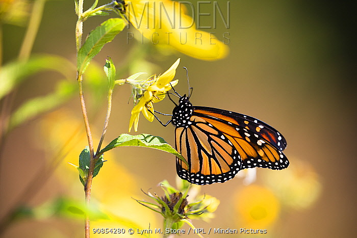 Monarch butterfly (Danaus plexippus) nectaring. Madison, Connecticut, USA, September.