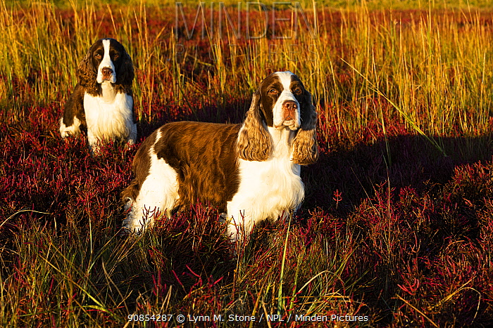 English Springer Spaniel, two standing in saltmarsh in autumn, in evening light. Connecticut, USA. October.