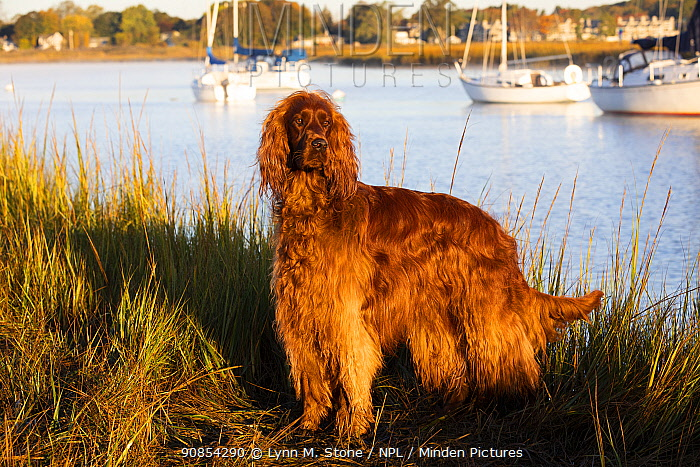 Irish Setter standing at coast in evening light. boats in background. Connecticut, USA.