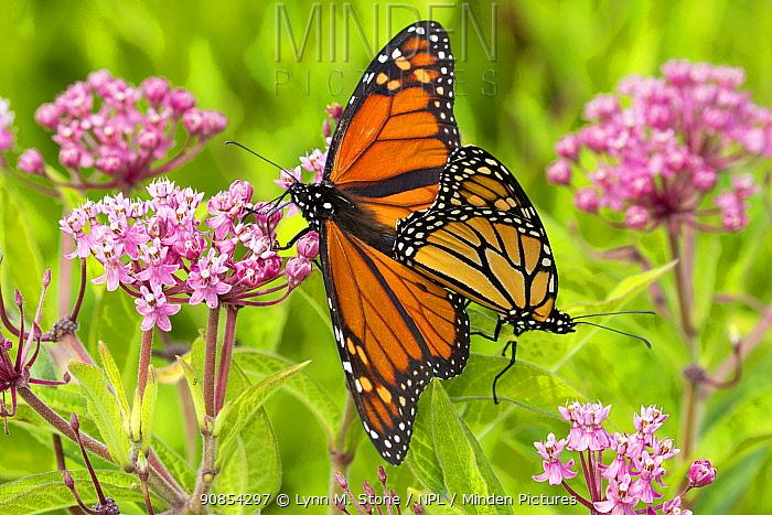 Monarch butterfly (Danaus plexippus) pair mating on Swamp milkweed (Asclepias incarnata). Connecticut, USA. August.