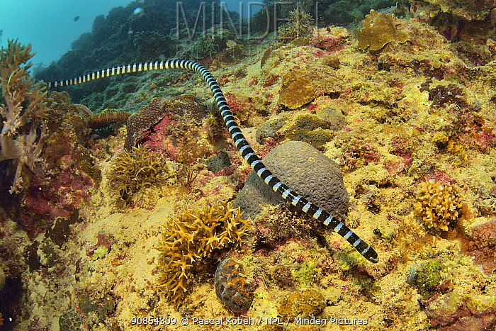 Faint banded seasnake (Hydrophis belcheri) swimming over reef. Philippines.