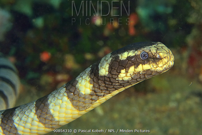 Faint banded seasnake (Hydrophis belcheri) portrait. Philippines.