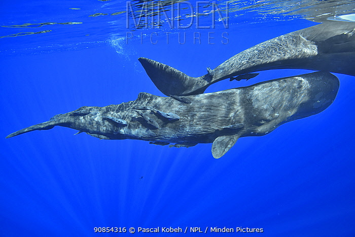 Sperm whale ((Physeter macrocephalus) female and calf below surface, several Whalesucker (Remora australis) remoras cleaning calf. Mauritius.