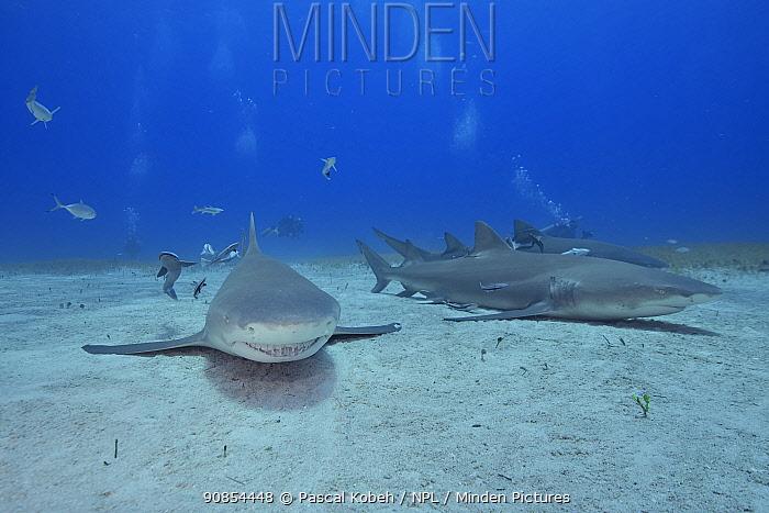Lemon shark (Negaprion brevirostris) group on sea floor surrounded by Whitefin sharksucker (Echeneis neucratoides) remoras, divers in background. Bahamas.