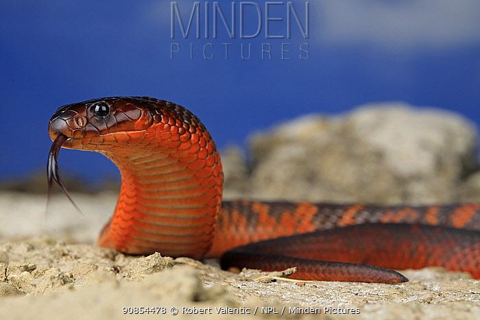 Collett's snake (Pseudechis colletti) male, venomous species endemic to the black soil plains of central Queensland, Australia. Captive.